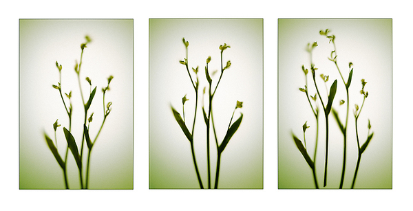 Delicate Dancers Triptych